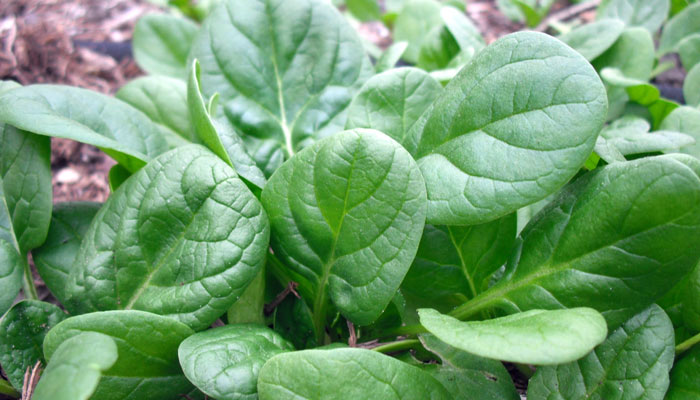 Simply Increasing the Intake of Green Leafy Vegetables Promotes Weight Loss