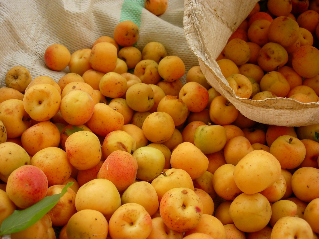Many_apricots