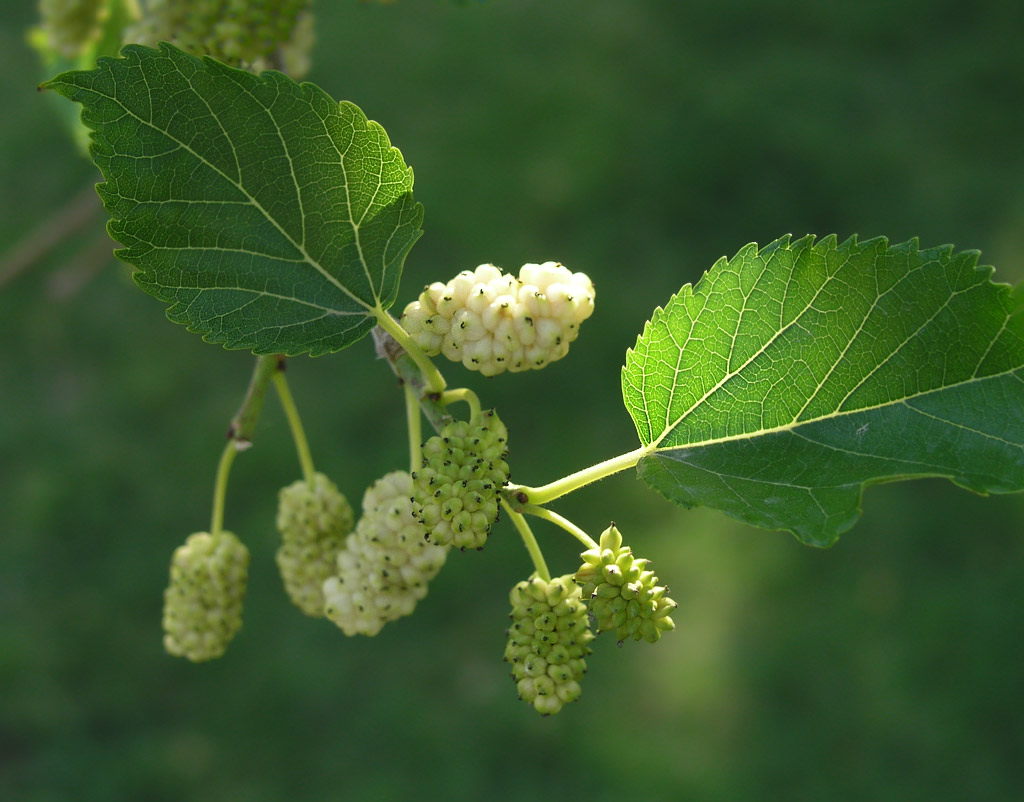 Mulberry Leaf Extract Promotes Weight Control