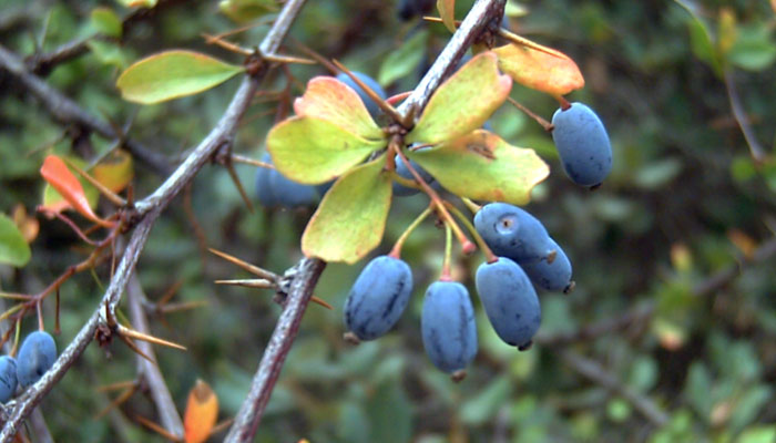 Berberine: An Ancient Remedy for Modern Humans