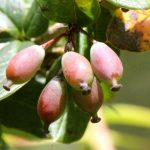 Berberis_aristata_fruit