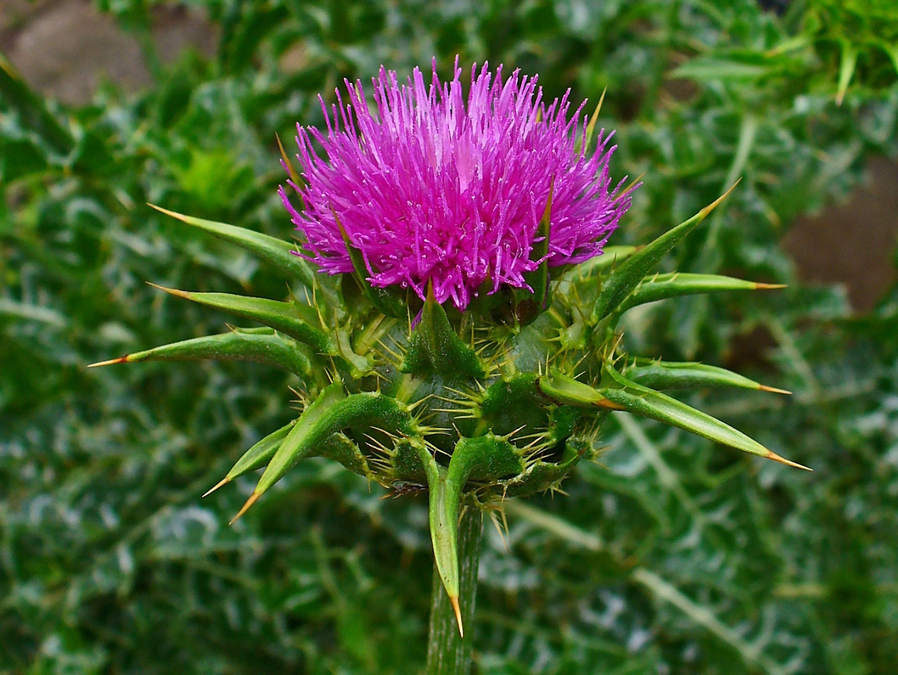 """The Positive """"Estrogenic"""" Effects of Milk Thistle Extract"""