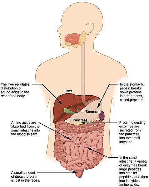 Curious About Probiotics vs. Digestive Enzymes?