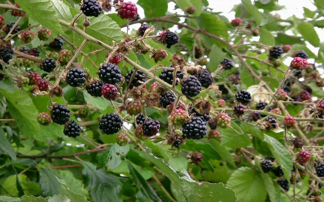 Blackberry Consumption Promotes Improved Insulin Action and Fat Burning